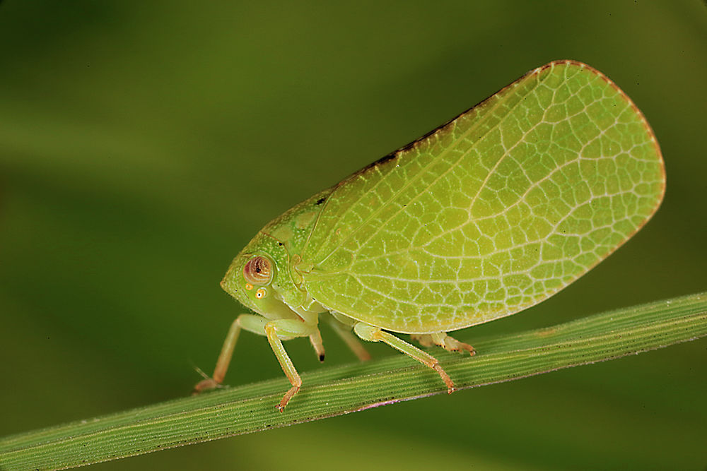 Membracidae 1 3-1-2-2013 by alfonsocampos