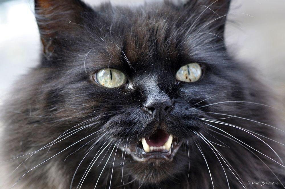 My cat Smigol by dariosperone