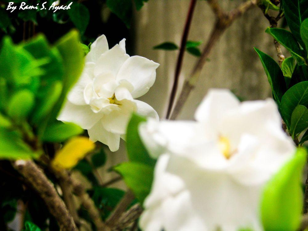 Gardenia.jpg by ramiayachlp