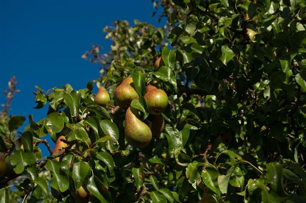Photo in Random #pears
