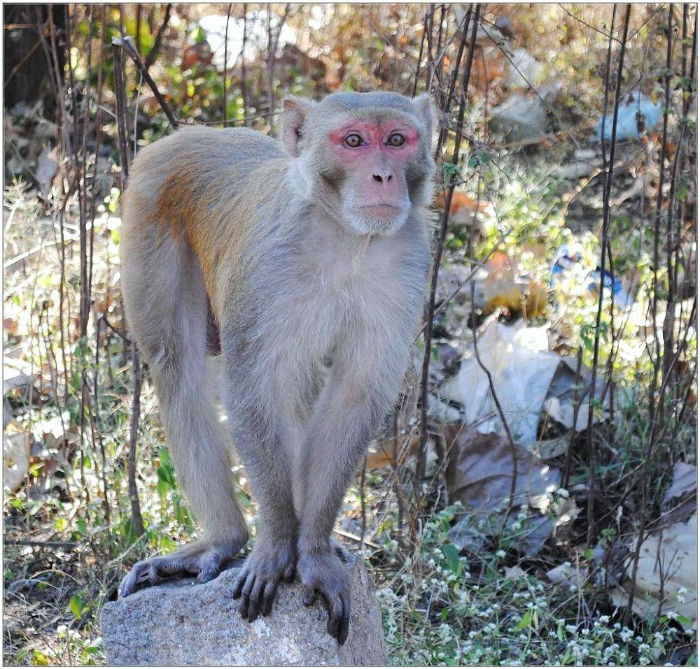 monkey .jpg by venugopalbsnl