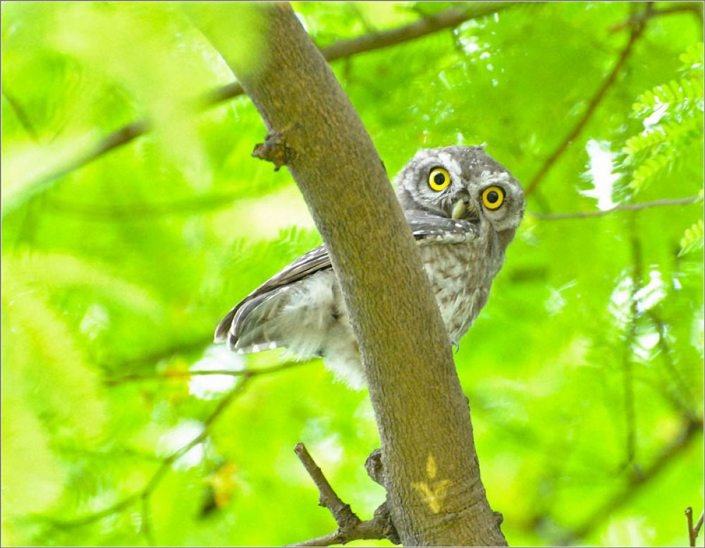 Indian Spotted owlet by venugopalbsnl