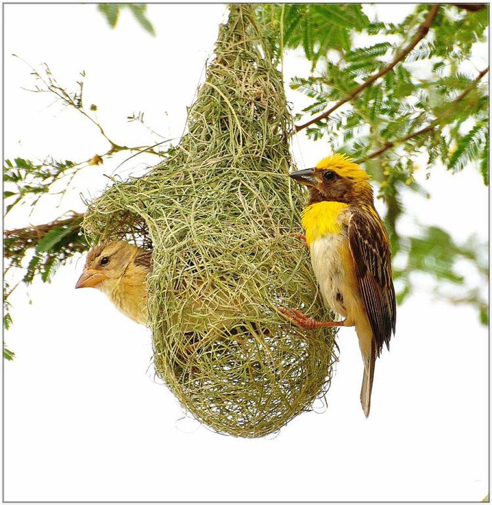 Baya Weavers by venugopalbsnl
