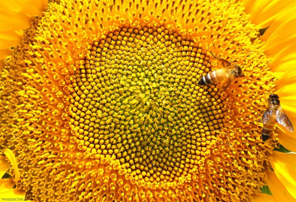 Sunflowers and Bees by venugopalbsnl