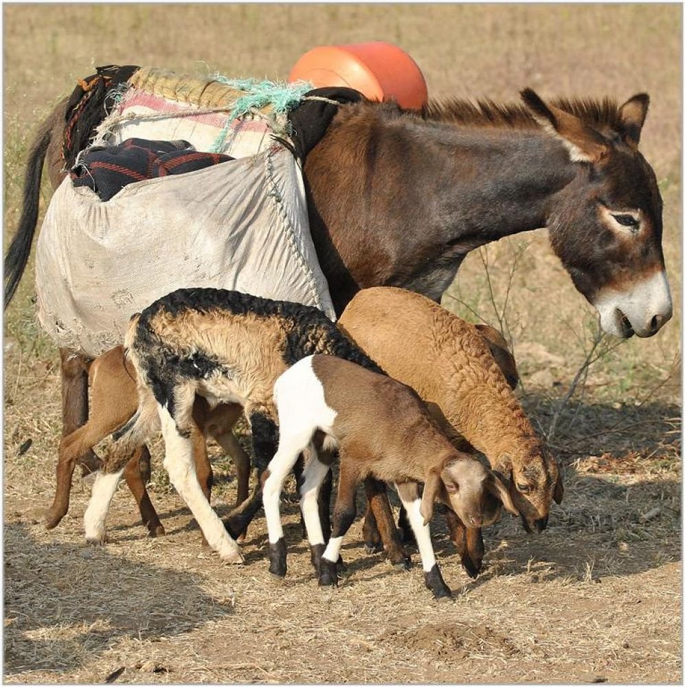 Donkey and Lambs by venugopalbsnl