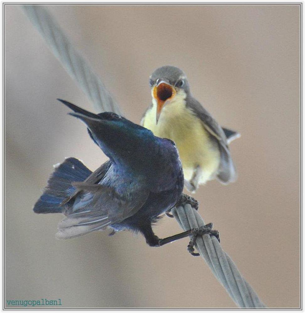 Purple Sunbirds by venugopalbsnl