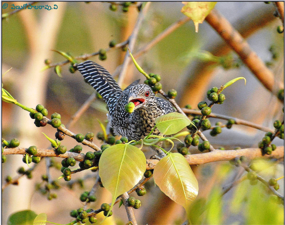 Asian Koel Female by venugopalbsnl