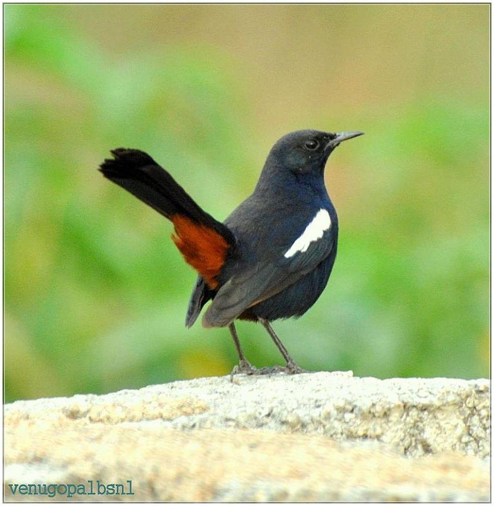 Indian robin male by venugopalbsnl