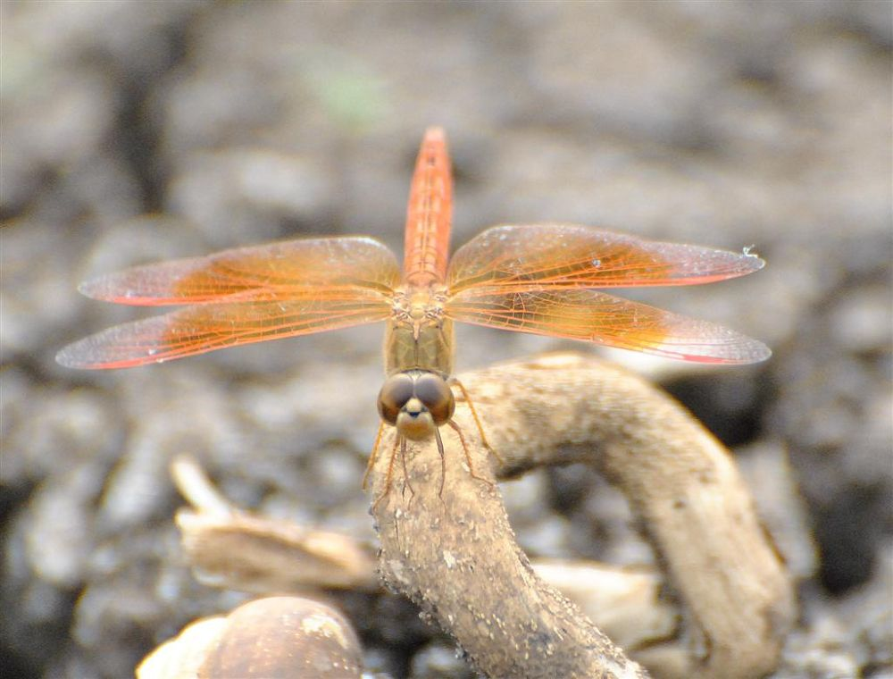 Dragon Fly by venugopalbsnl
