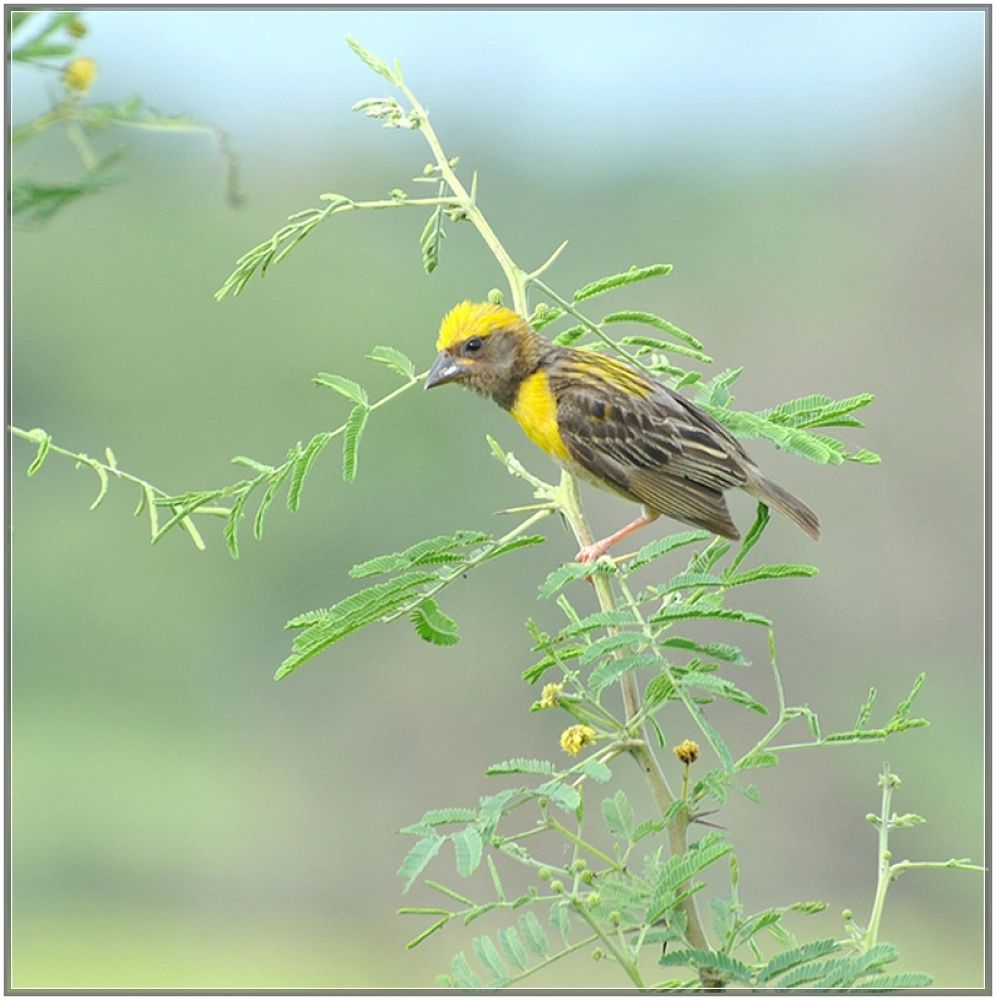 Baya Weaver-Male by venugopalbsnl