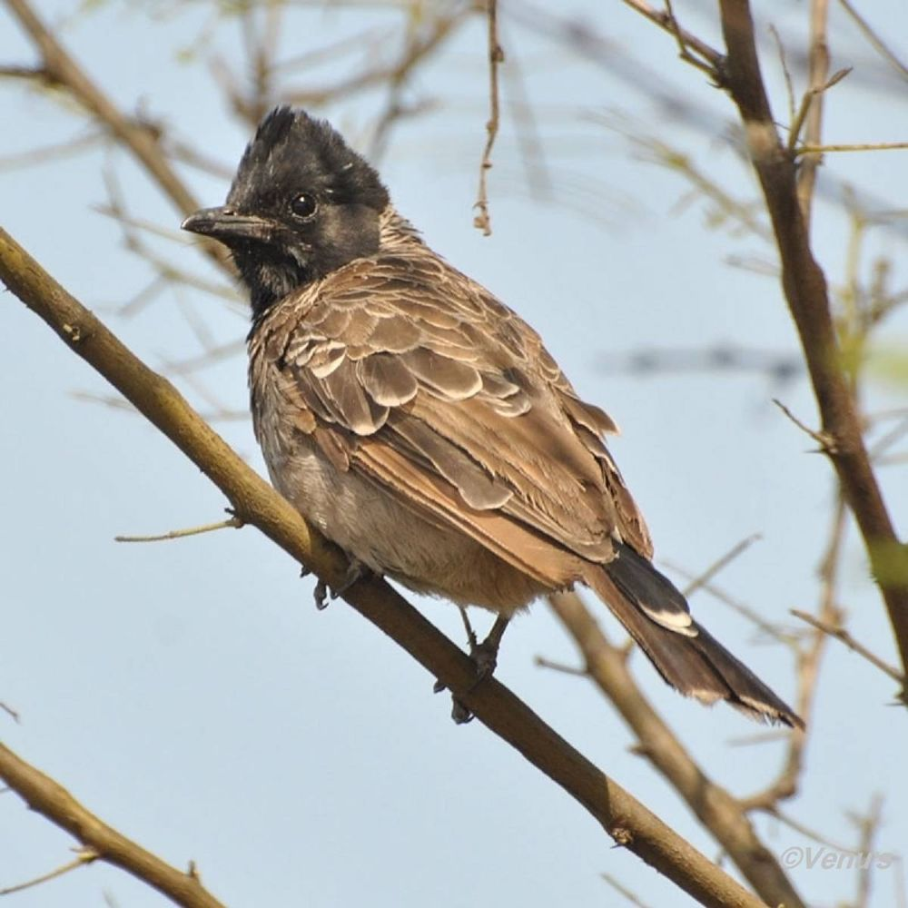 Red Vented Bulbul by venugopalbsnl