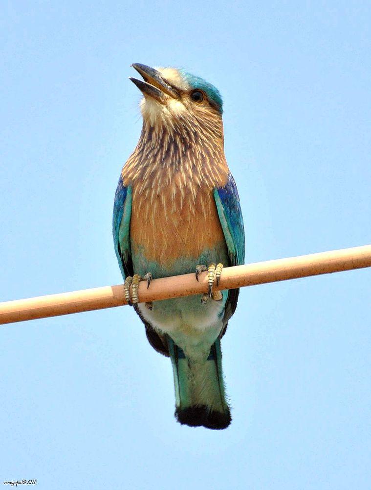 Indian Roller by venugopalbsnl