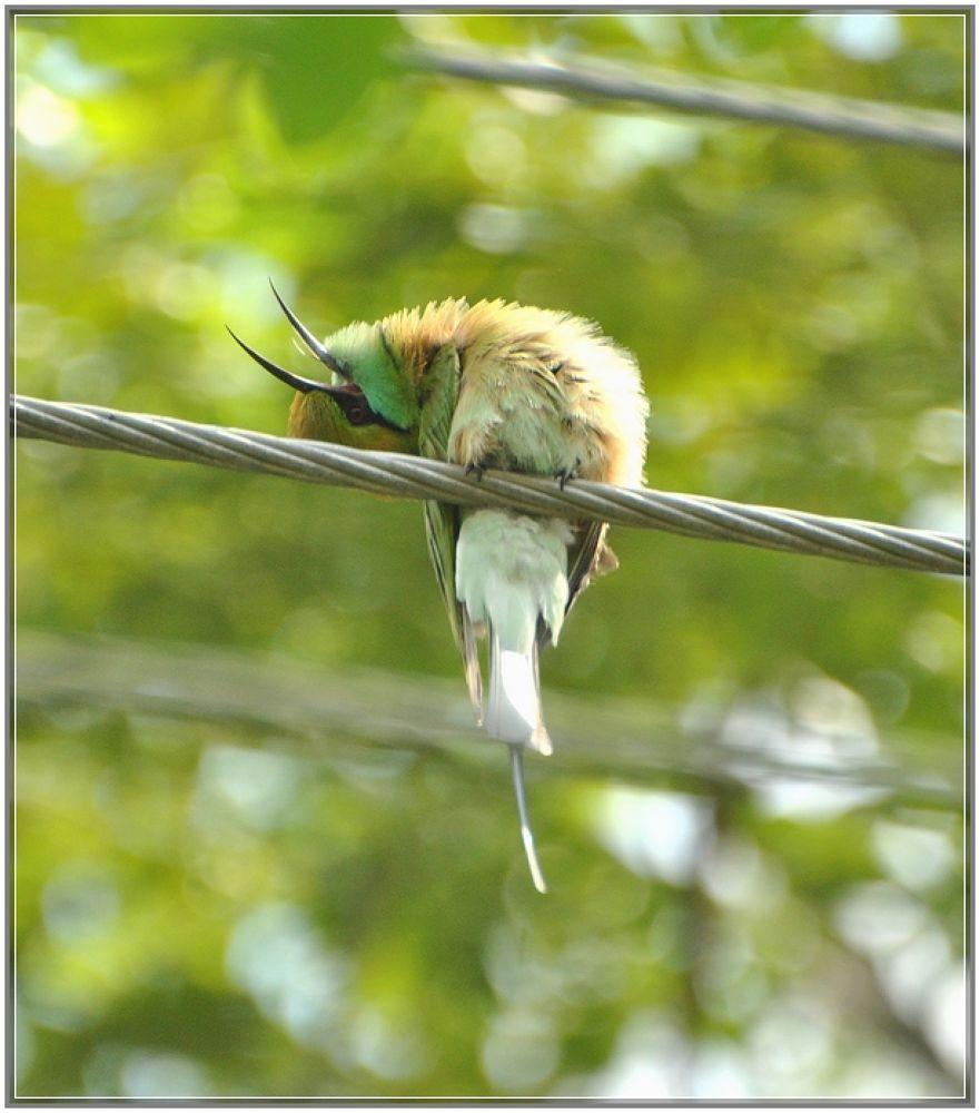 Green Bee Eater by venugopalbsnl