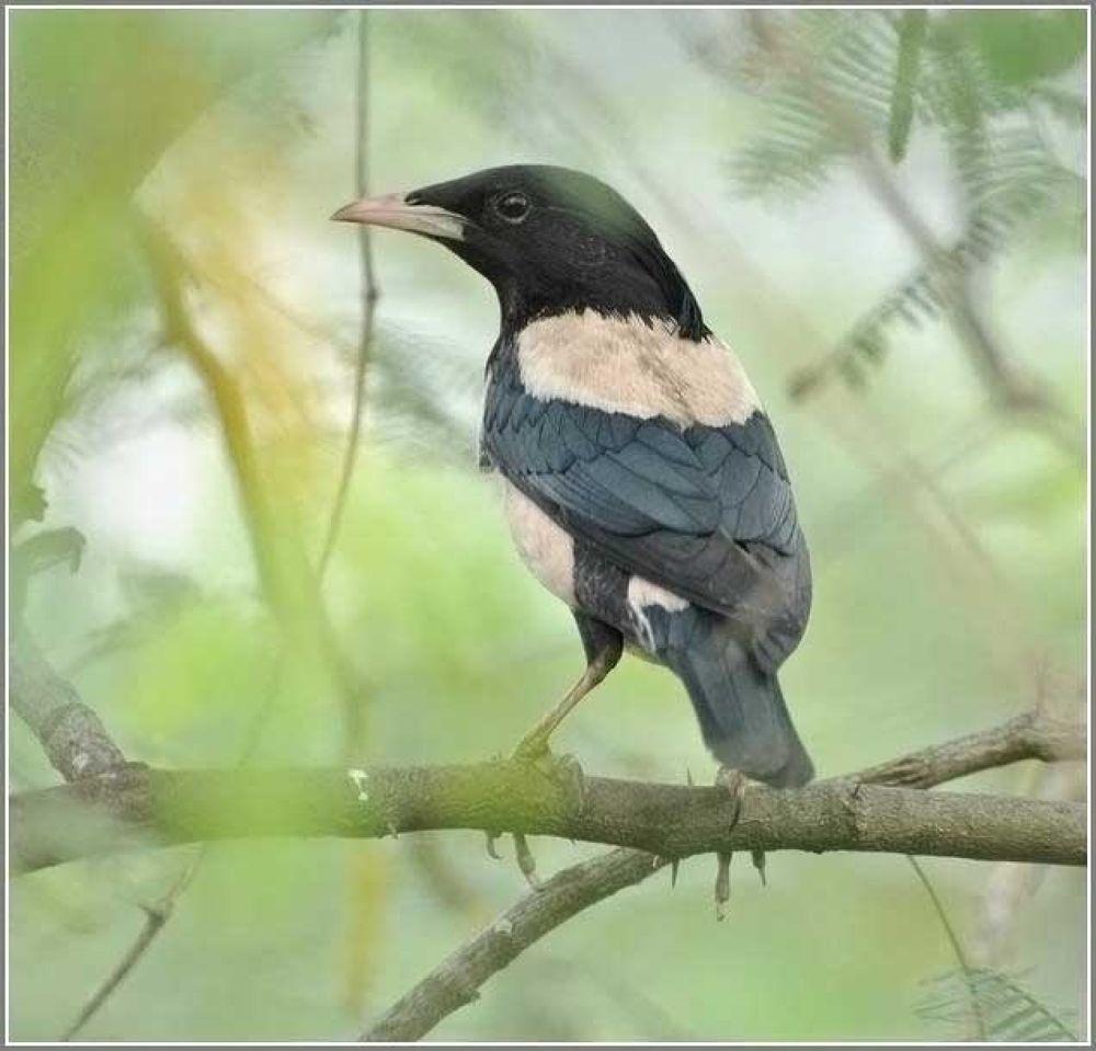 Rosy Starling by venugopalbsnl