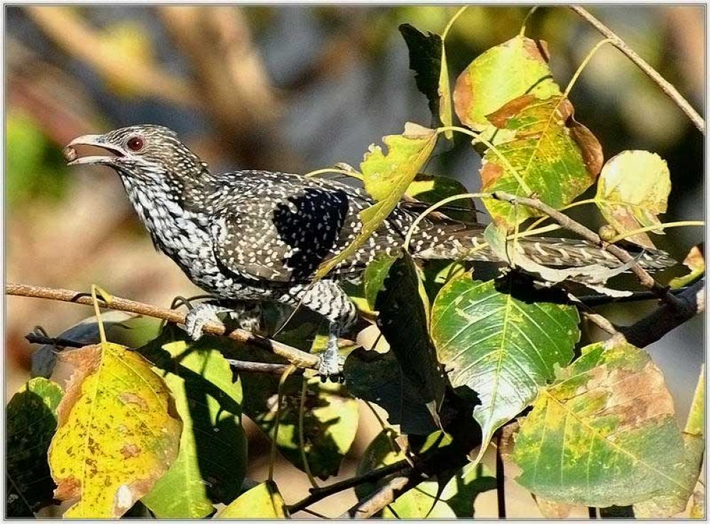 Koel-Female by venugopalbsnl