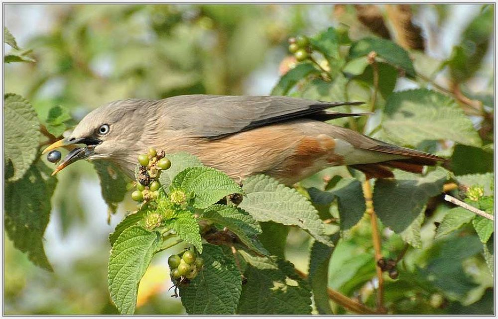 Chestnut Tailed Starling by venugopalbsnl