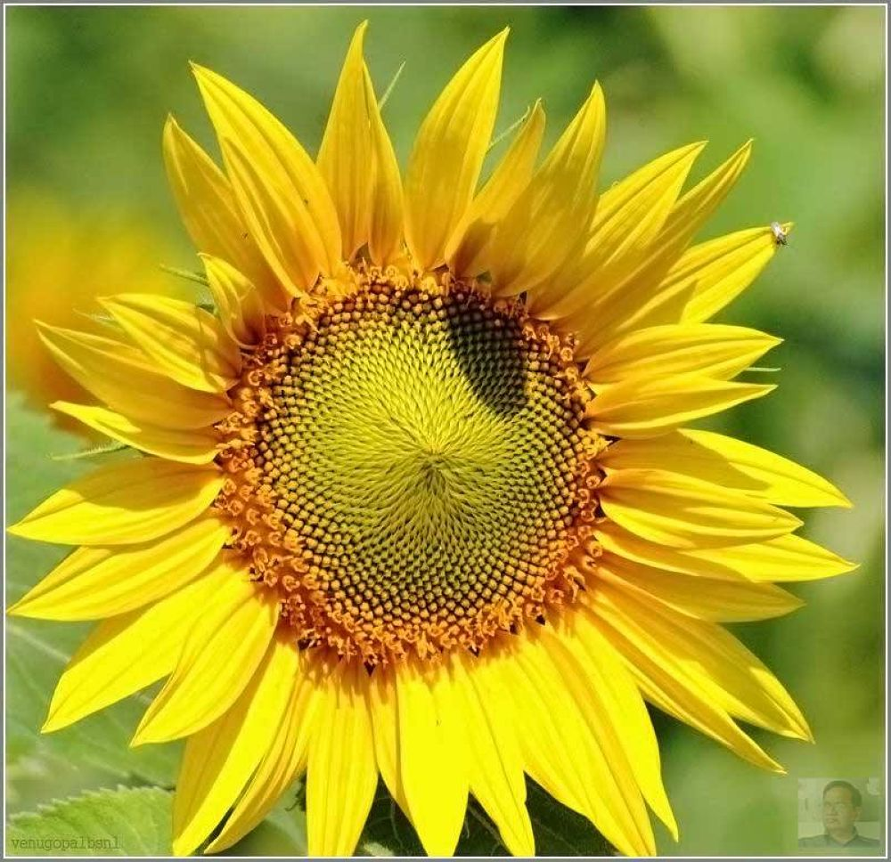 Sunflower with a fly. by venugopalbsnl