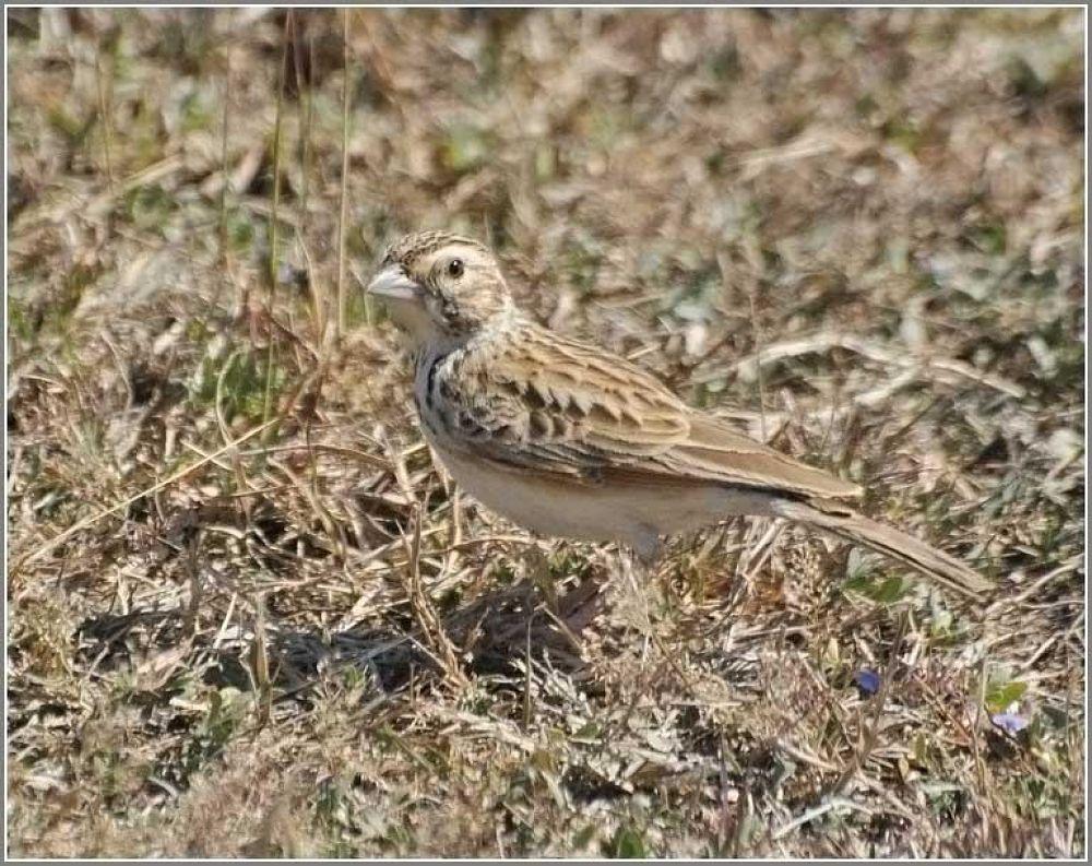 Sparrow Lark by venugopalbsnl