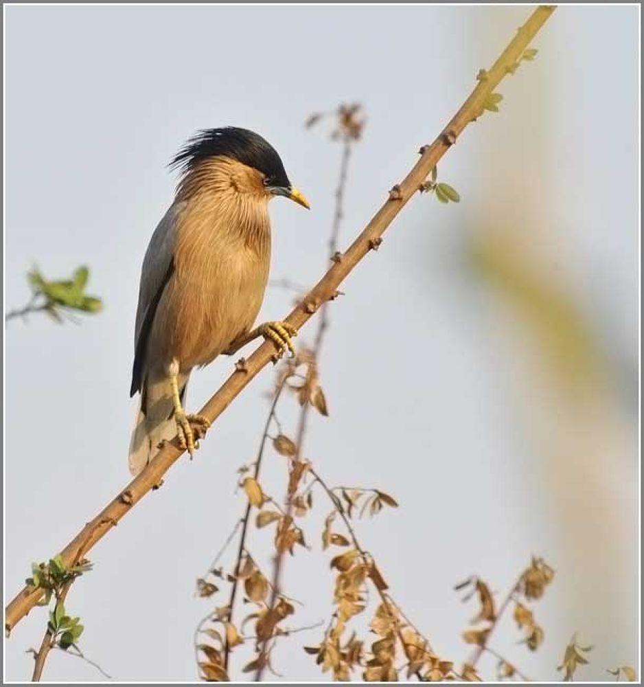 Brahminy Starling by venugopalbsnl