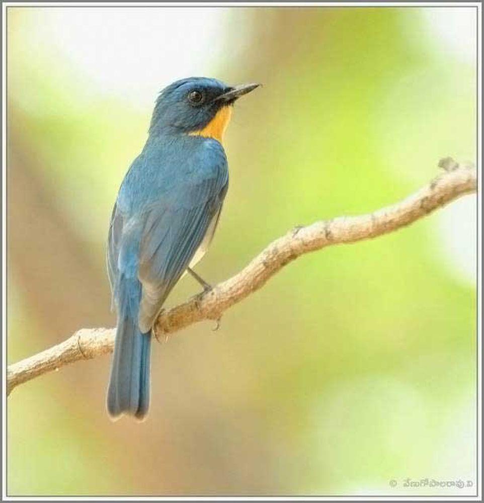 Tickell's Blue Flycatcher by venugopalbsnl