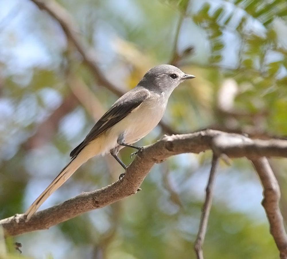 Small Minvet-Female by venugopalbsnl