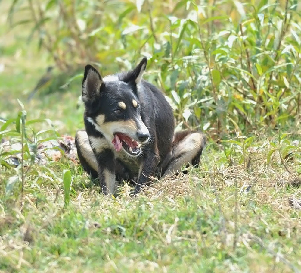 A ferocious dog catching ran aground fish and eating  Ameenpur lake,Hyderabad April 2014 by venugopalbsnl