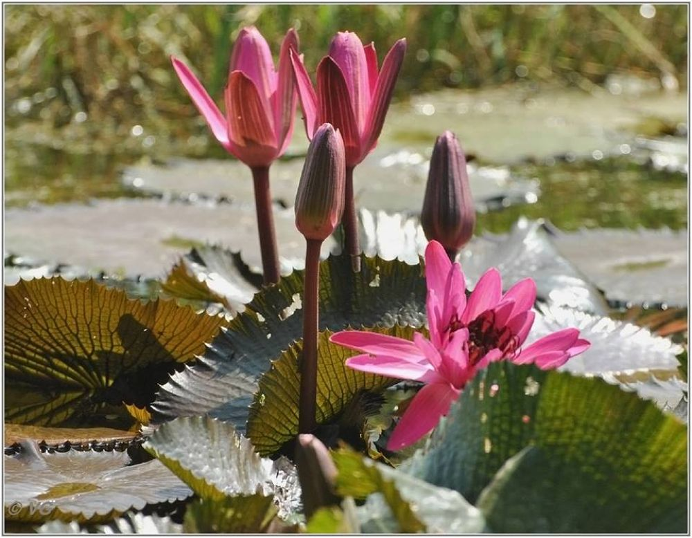Water Lily by venugopalbsnl