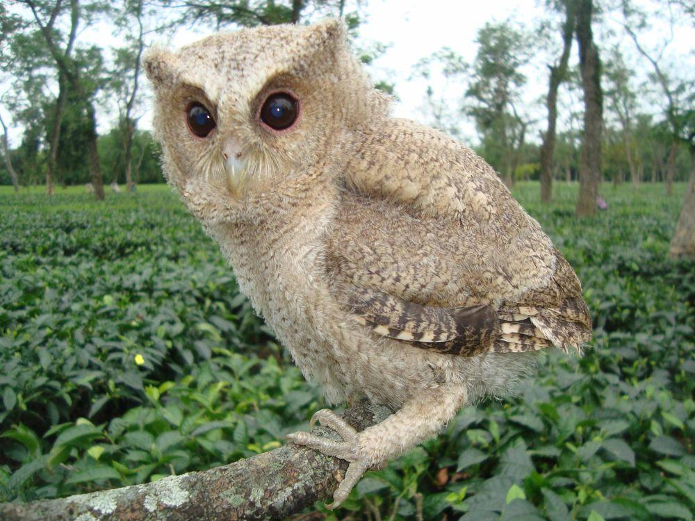 Collered Scops-Owl.jpg by nasserulhaquehazarika