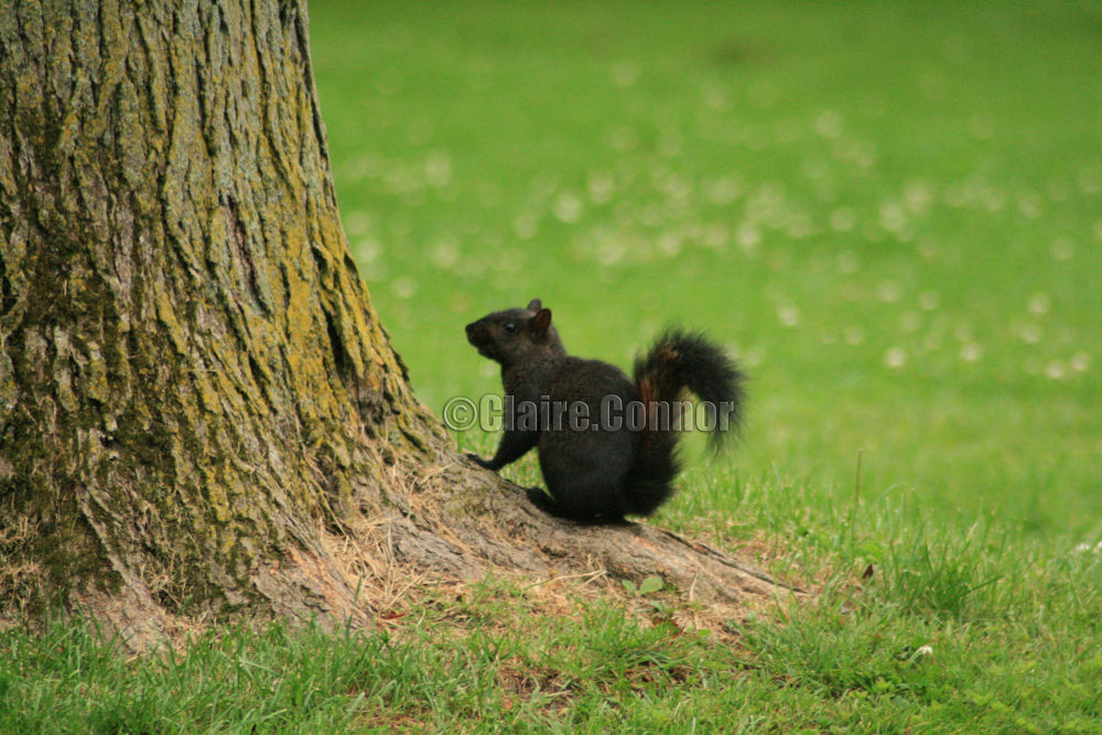 Black squirrel by Blodwin1972