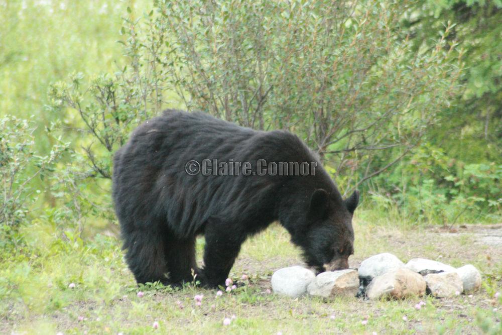 Black bear by Blodwin1972