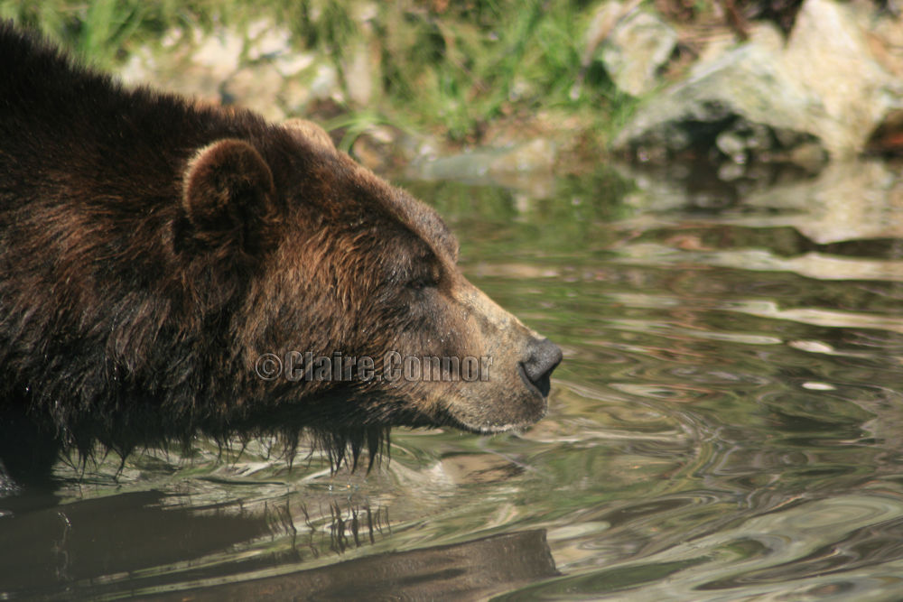 Brown bear by Blodwin1972