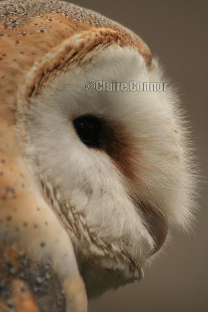 Barn owl by Blodwin1972
