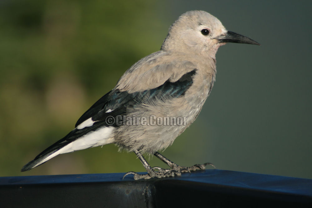 Clarks nutcracker by Blodwin1972