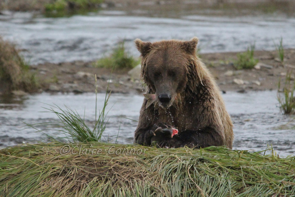 Grizzly and the salmon! by Blodwin1972