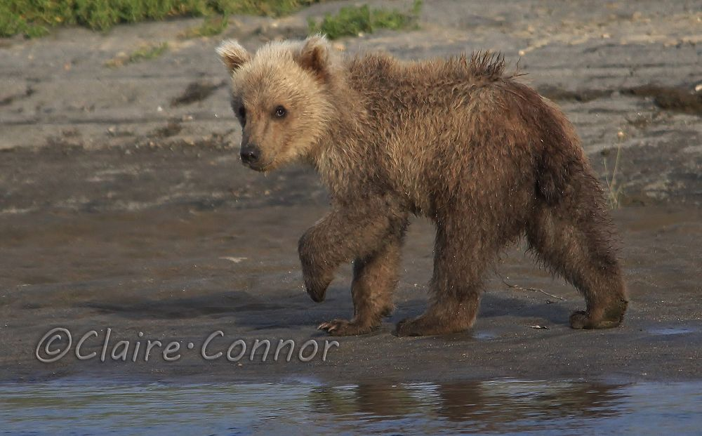 Brown bear cub by Blodwin1972