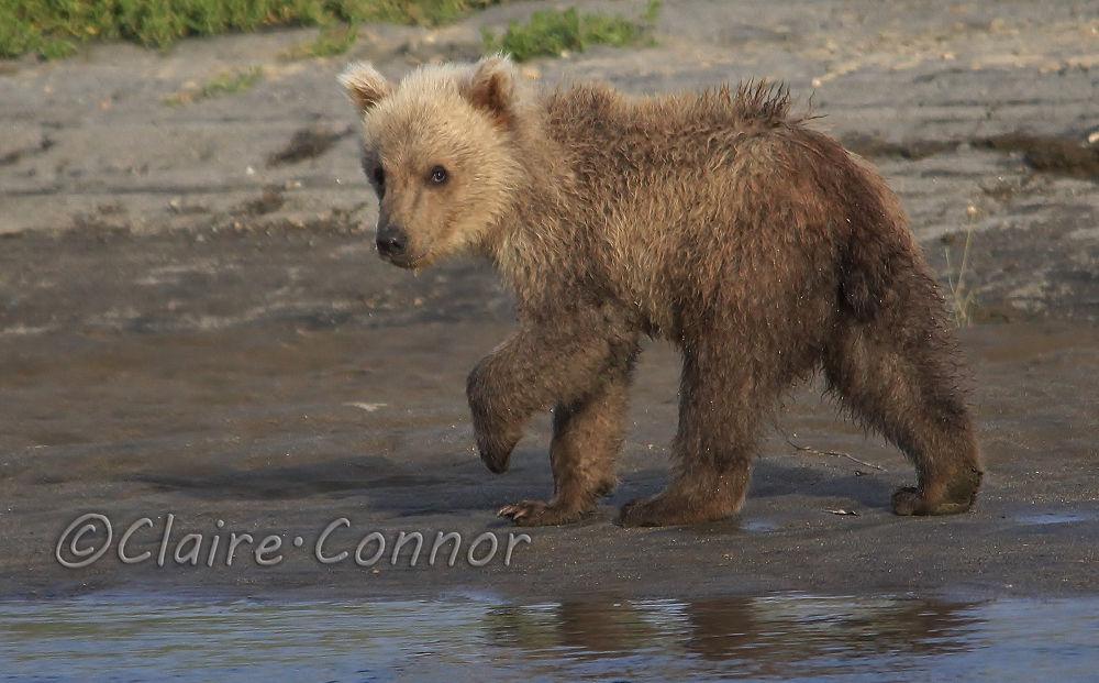 Photo in Animal #bear #brown bear #grizzly bear #baby bear #nature #animal #wildlife #north america #alaska