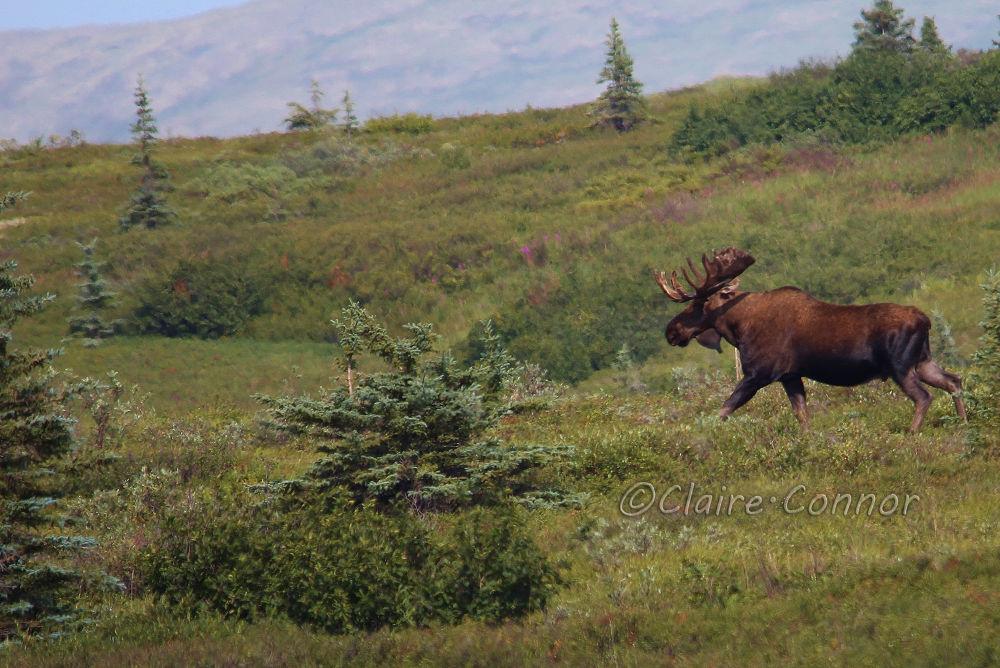 Bull Moose by Blodwin1972