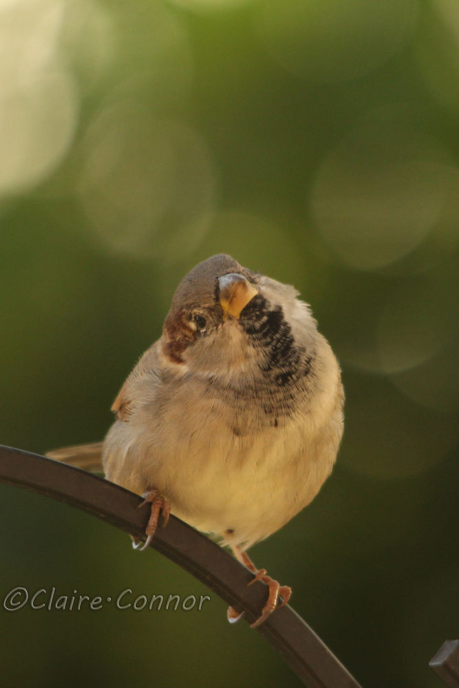 Sparrow by Blodwin1972