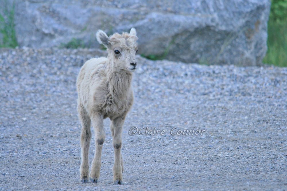 Baby big horn sheep by Blodwin1972