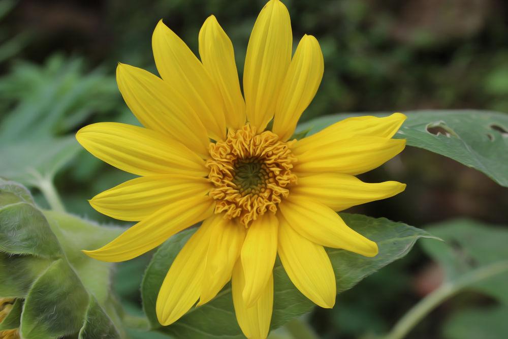 Photo in Macro #flower #macro #sunflower #iskenderdelibas #good #nice #best #amazing #great