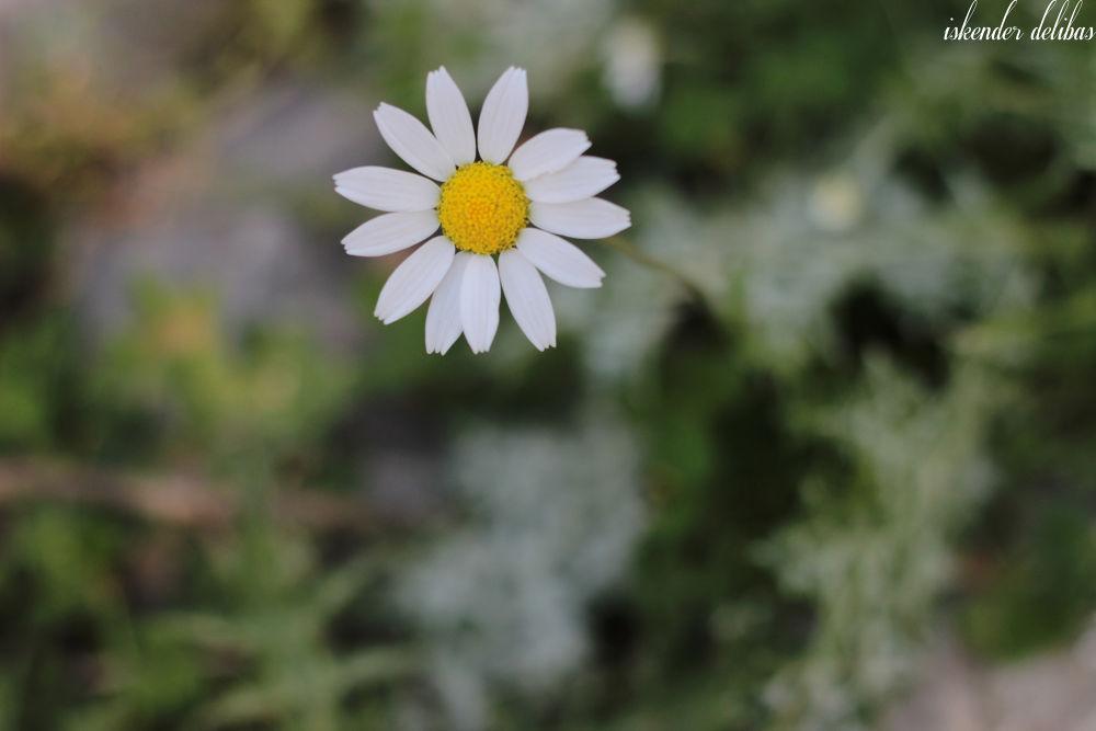Flower by iskenderdelibas