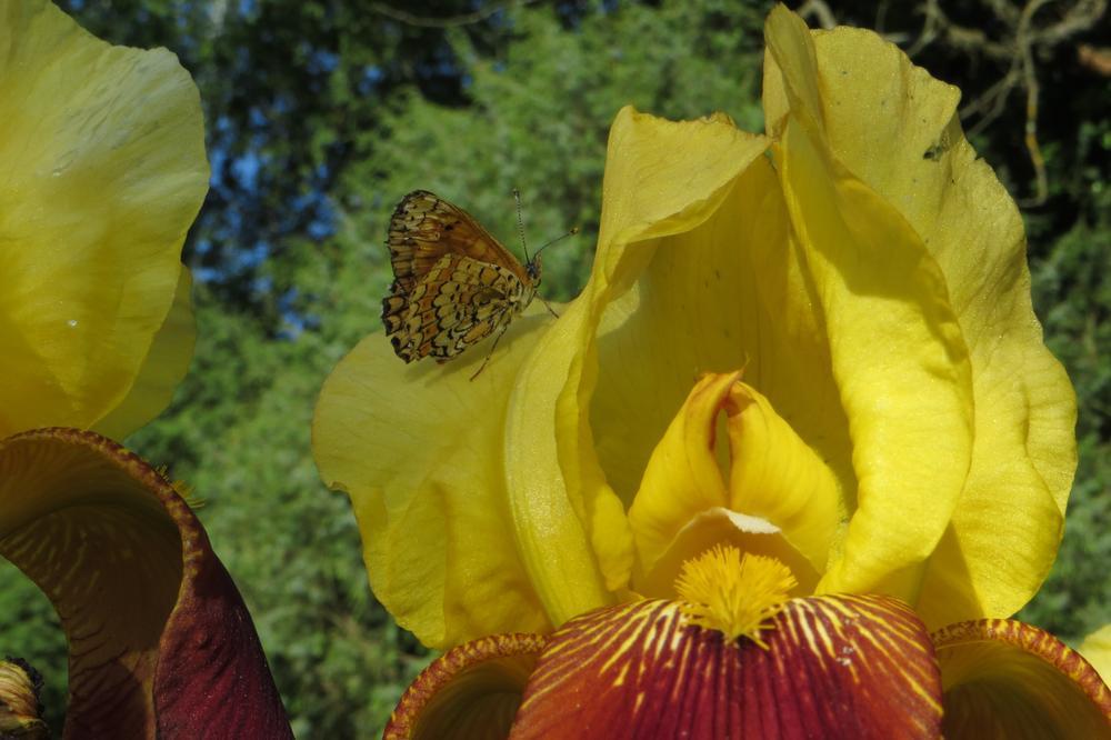 Iris 5 by 1palmier