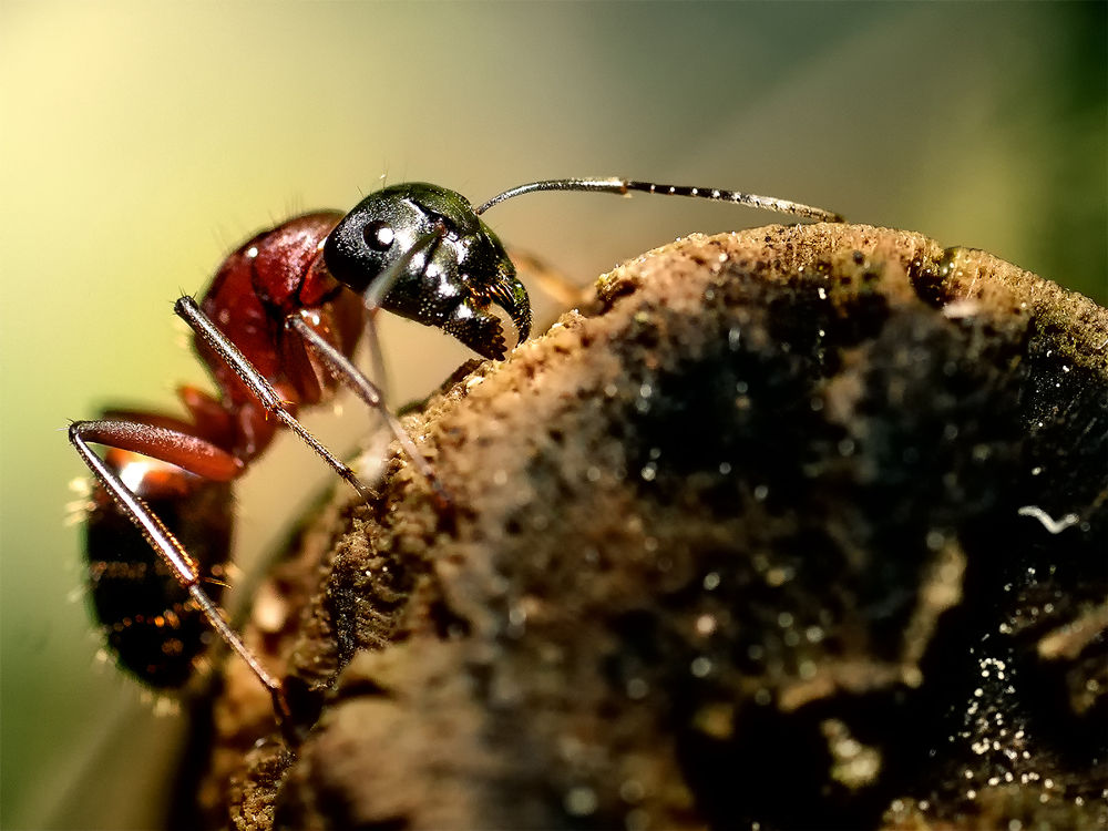 Red wood ant  by Wolfgang Korazija