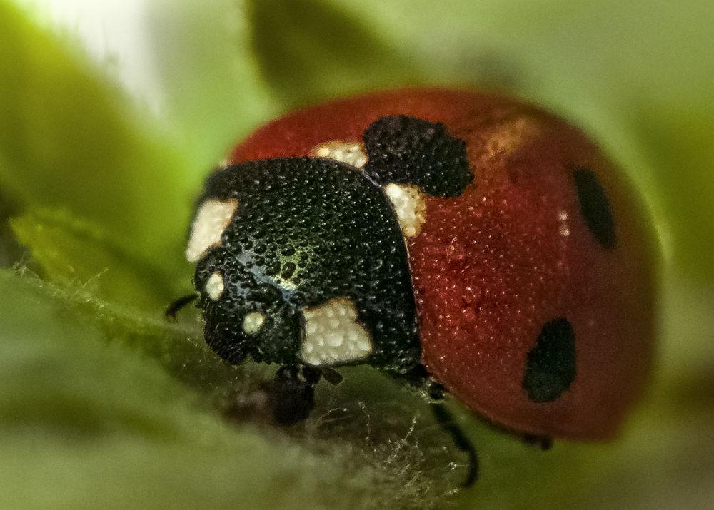 Ladybug with dewdrops by Wolfgang Korazija