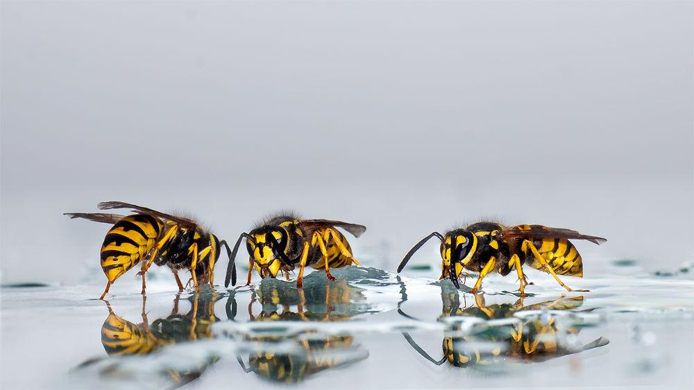 3 wasps in drinking by Wolfgang Korazija