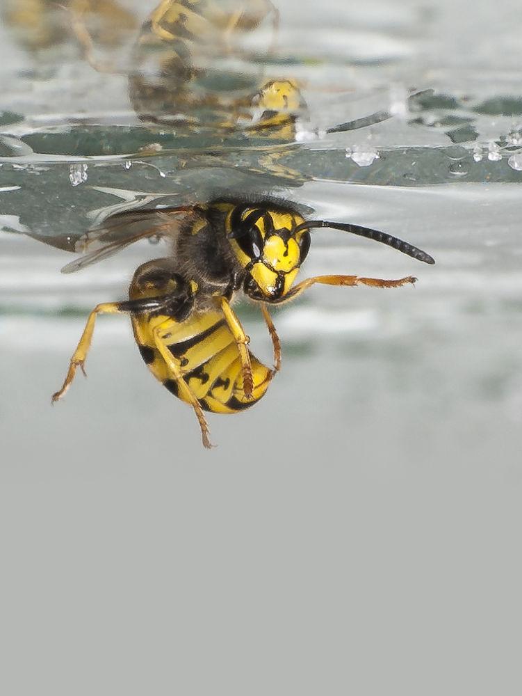 Wasp by Wolfgang Korazija