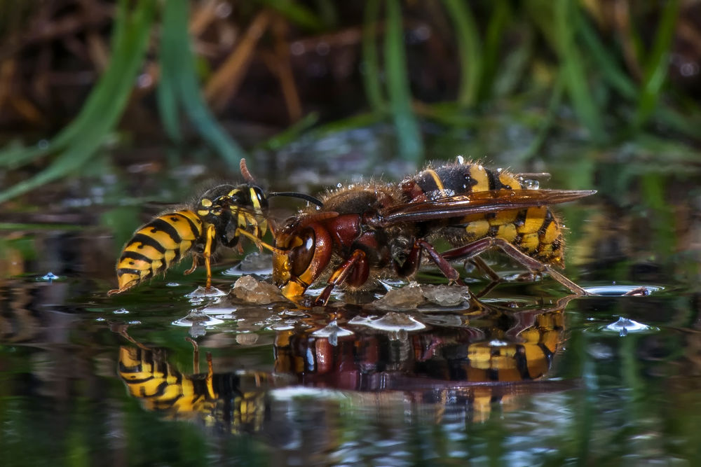 Photo in Macro #hornet #wasp #insects #nature #water