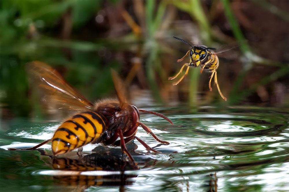 Photo in Macro #hornet #wasp #;insekts #water #macro #nature #nikon