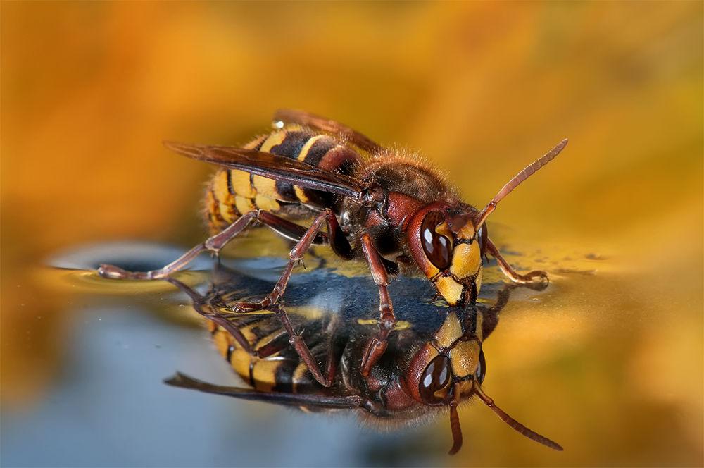 Hornet Reflexion by Wolfgang Korazija