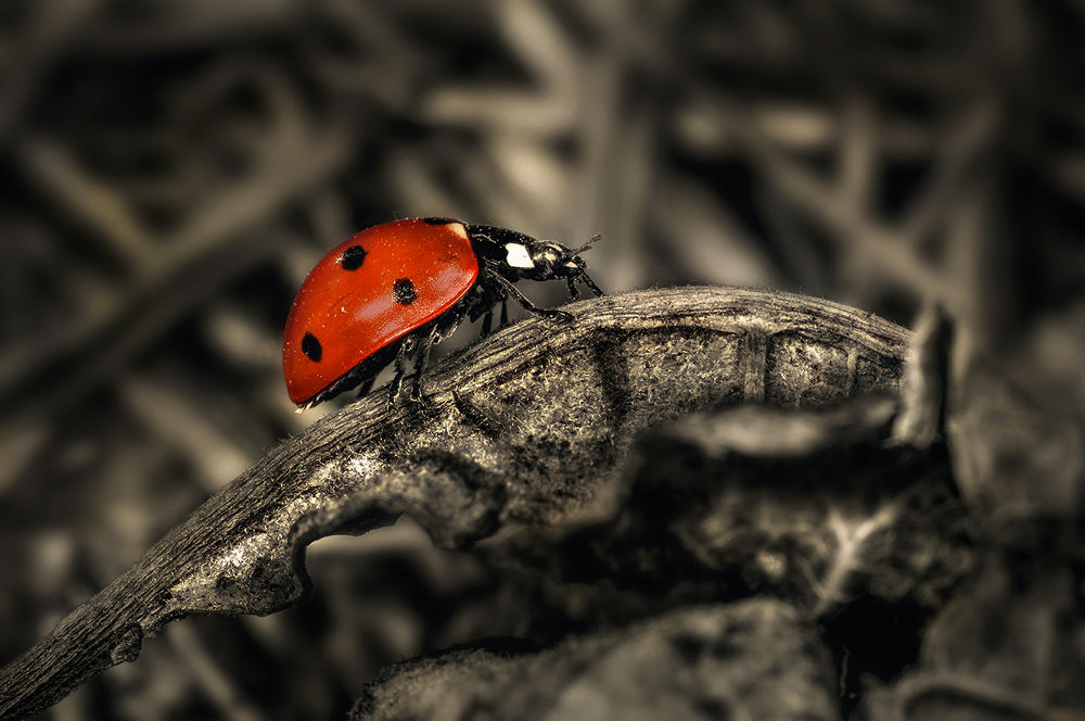 Photo in Macro #ladybug #insects #macro #nature #colorkey #nikon